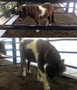 zoofari little horses
