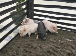 zoofari little pigs